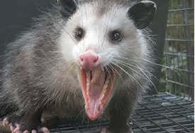 https://wildlifecenteroftexas.org/wp-content/uploads/2009/08/opossum-teeth.jpg