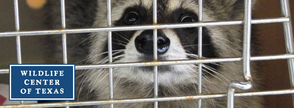 Raccoon-in-Kennel-1024x576-954x350