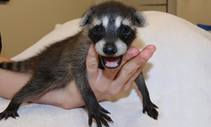 Baby Raccon Feature Image