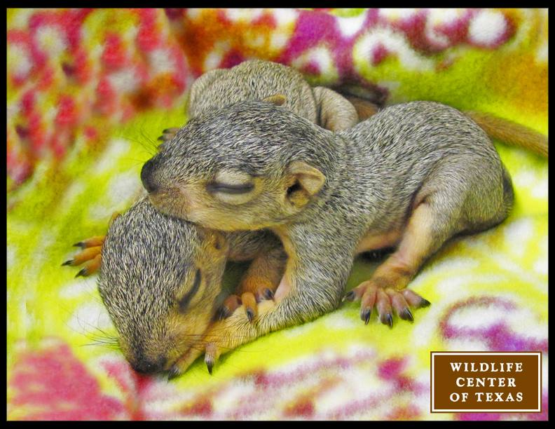 Two baby fox squirrels arrive at The Wildlife Center of Texas